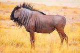 #Wildebeest