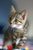 Abyssinian Kitten...