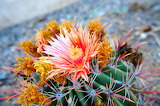 Cactus-thorny-fat-plant-flower
