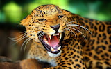 #Leopard in High Definition