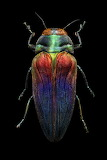 "Science Colossal ""Levon Biss"" ""Tricoloured-Jewel-Beetle"""