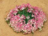 ^ Wreath Flower of Australia