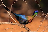 "Science tumblr myfrogcroaked ""Purple-crested Turaco (Tauraco por"