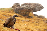Vulture -Dragensberg Mountains, South Africa