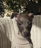 dog-italian greyhound