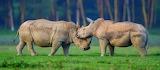 White Rhinos ~Lake Nakuru, Kenya