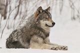 un loup en hiver.....