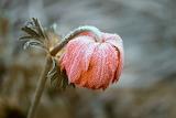 Blüte gefroren