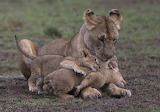 Lioness with playful cubs