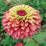 ^ Queen Red Lime Zinnia