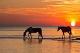 Konie w morzu o zachodzie słońca