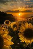 Sun Flower Sun Set