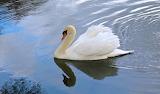 Cigne - Swan