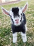 Mini goat............................................x