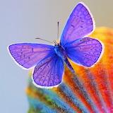 Blue Butterfly...