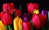 #Beautiful Tulips