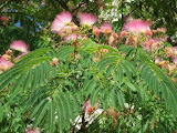 albizia julibrissin (Persian silk tree) flowers