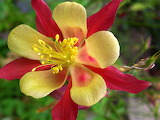 Flower yellow and red
