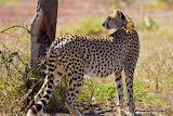 CheetahLadyBeau