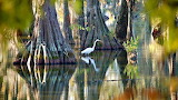 White Egret Standing in the Cypress Island Swamp Louisiana USA
