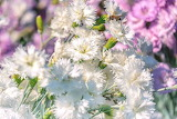 Bee, insect, small carnations, flowers, white, nature