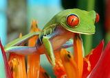 Rainette-yeux rouges