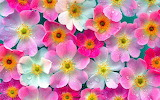Pink Flowers Wallpapers 01