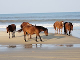 Wild Horses Corolla Beach after hurricane