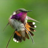 Wine Throated Hummingbird Enlarged tonitsay