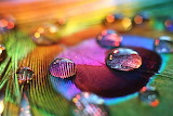 Droplets on feather