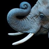 #African Elephant by National Geographic