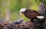 Bald Eagles in Anchorage Alaska