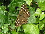 Speckled wood butterfly ©Richard Burkmarr
