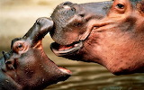 #Baby and Mother Hippos