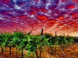 VineyardDawn