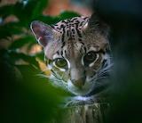 Ozelot - Leopardus pardalis