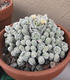 Thimble Cactus Mammillaria