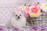 Dog, puppy, white, flowers, basket, Spitz, bench