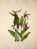"""Plants Tumblr To-see-clearly- Mountain """"Lady's Slipper"""""""