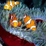 Clown Fish...
