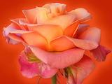 Rose-Wallpaper-48