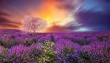 Lavender-Field-Sunset