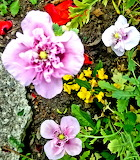3 opium poppies