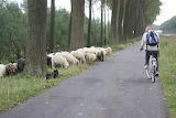 Roadside sheep, Belgium