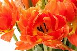 ^ Tulips