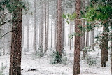 Forest-wood-trees-snow-winter