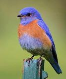 Birds - Western Bluebird