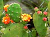Opuntia Prickly Pear Cactus