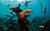 California sea lions off of Anacapa Island. Channel Islands Nati