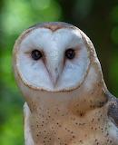 Birds - Barn Owl close up